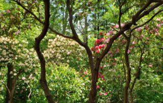 News & Blog - Heritage in spring rhodies