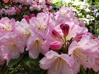 Rhodie in spring