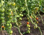 News & Blog - Tomato Plants