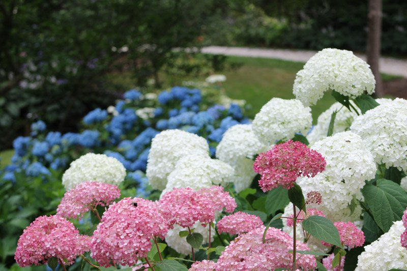Red White and Blue Hydrangeas