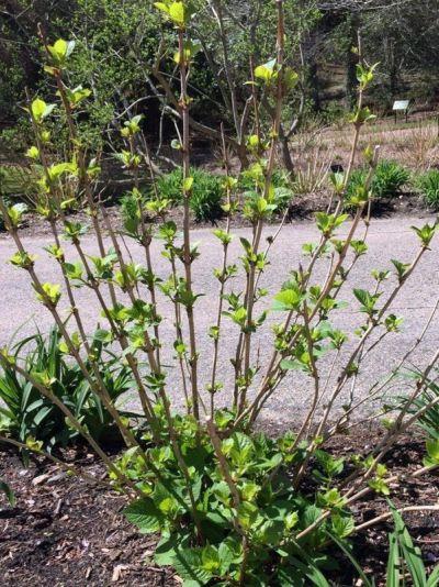 Hydrangea Test Garden BloomStruck