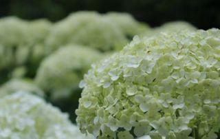 Limelight Hydrangea White