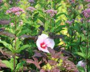 Parking garden bioswale hibiscus