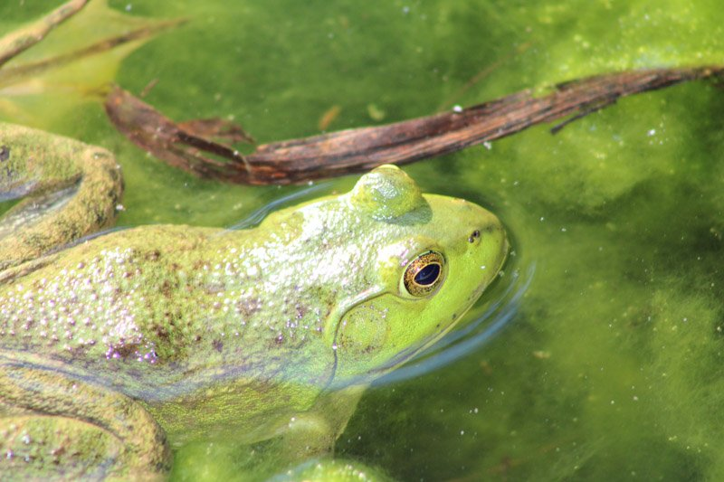 Frog in lilypond