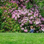 Rhododendrons and child