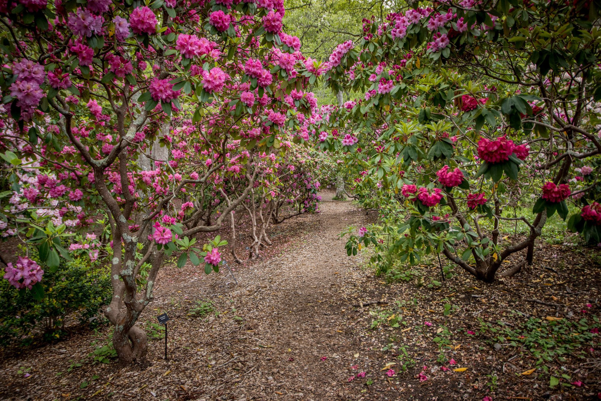 Rhododendrons in spring
