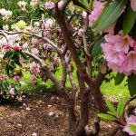 Rhododendron at Heritage
