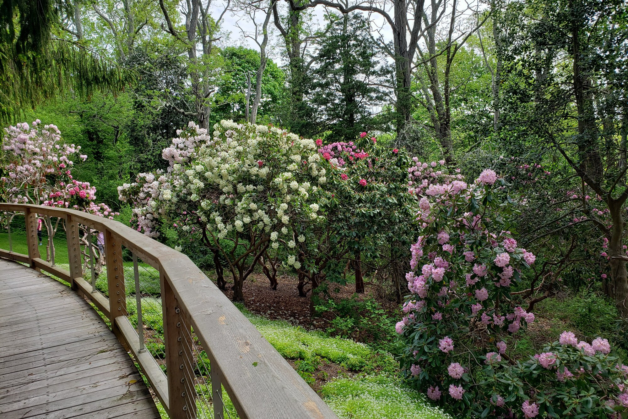 Rhododendrons walkway