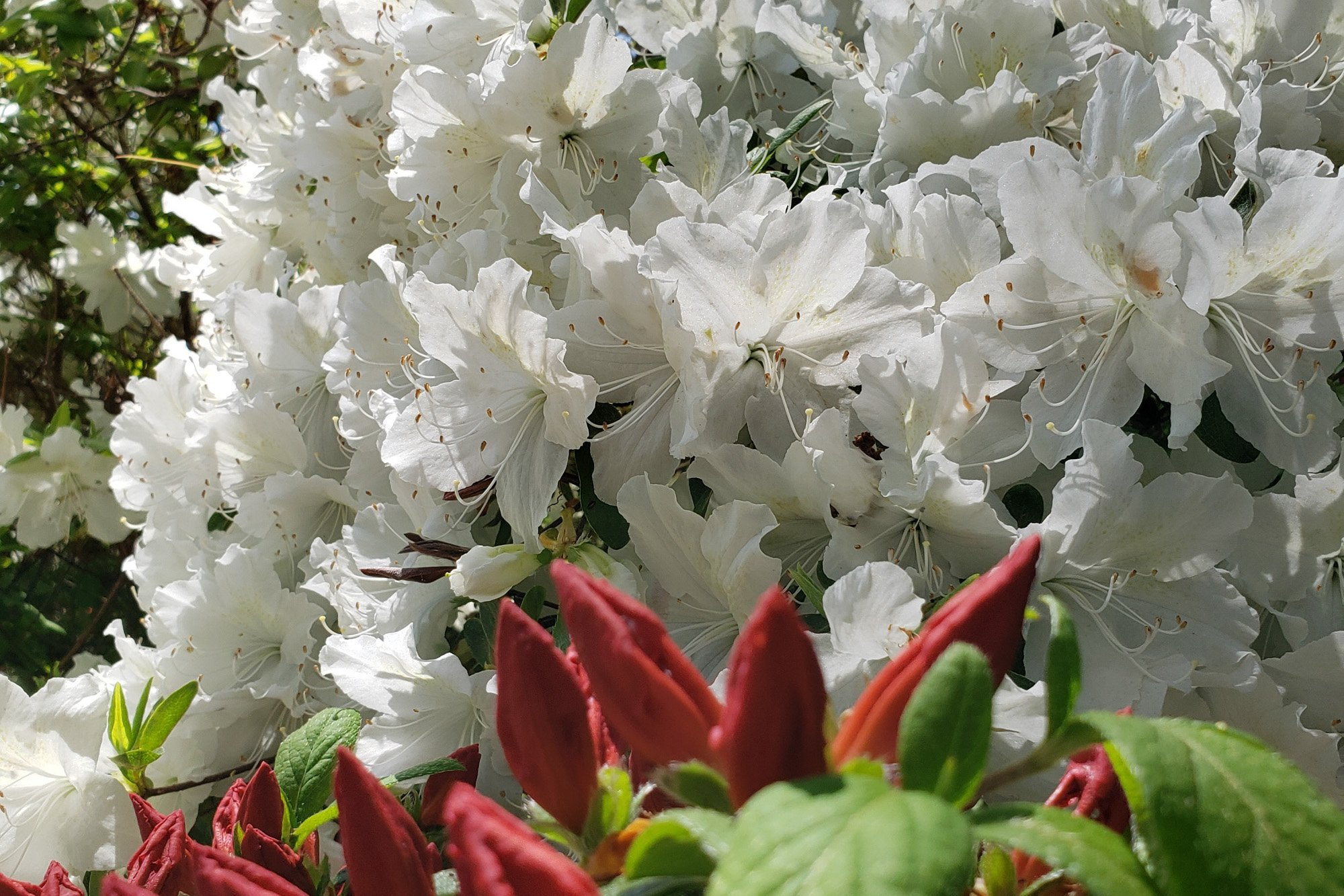 Rhododendron White and red