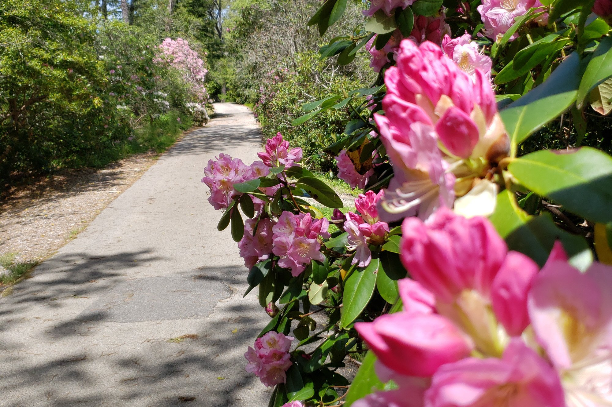 Rhododendron on path