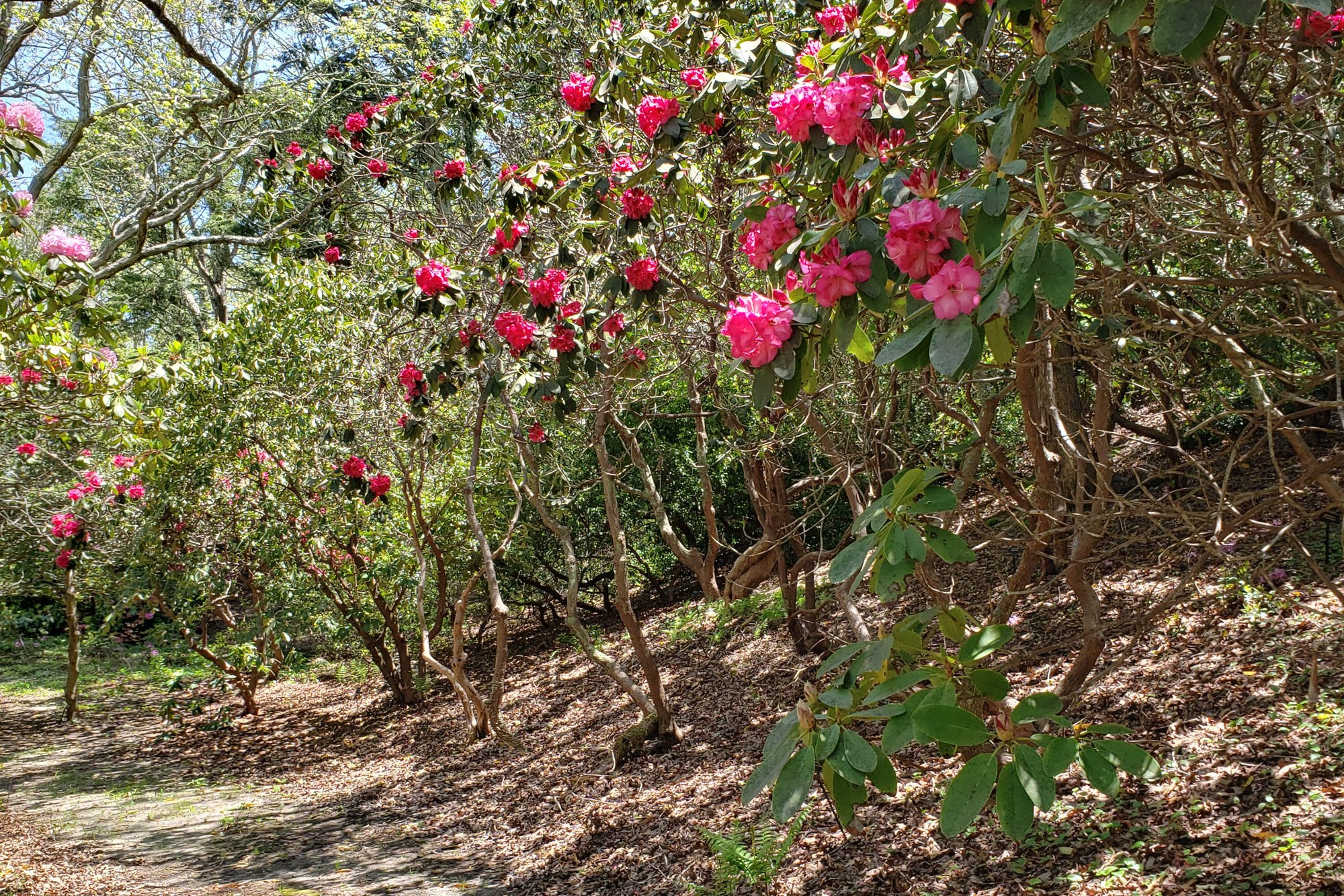 Rhododendron in woods