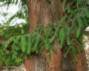 News & Blog - Deciduous Conifers