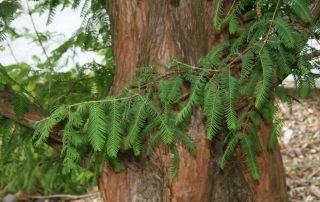 News & Blog - Deciduous Conifers