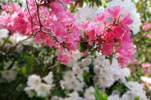 Dexter Rhododendron Garden