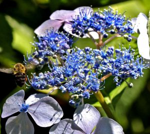 Hydrangea with Bee