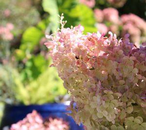 Hydrangea - white pink