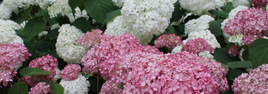 Red and white Hydrangea