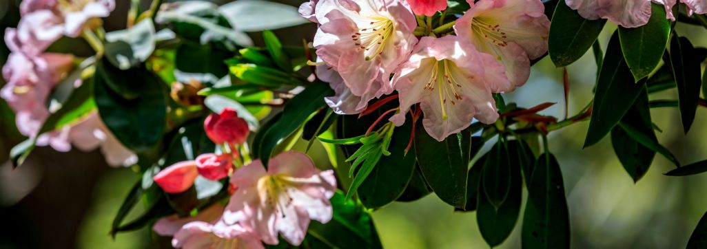 Tribute Rhododendron